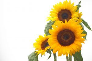 950255_sunflower_smiles.jpg